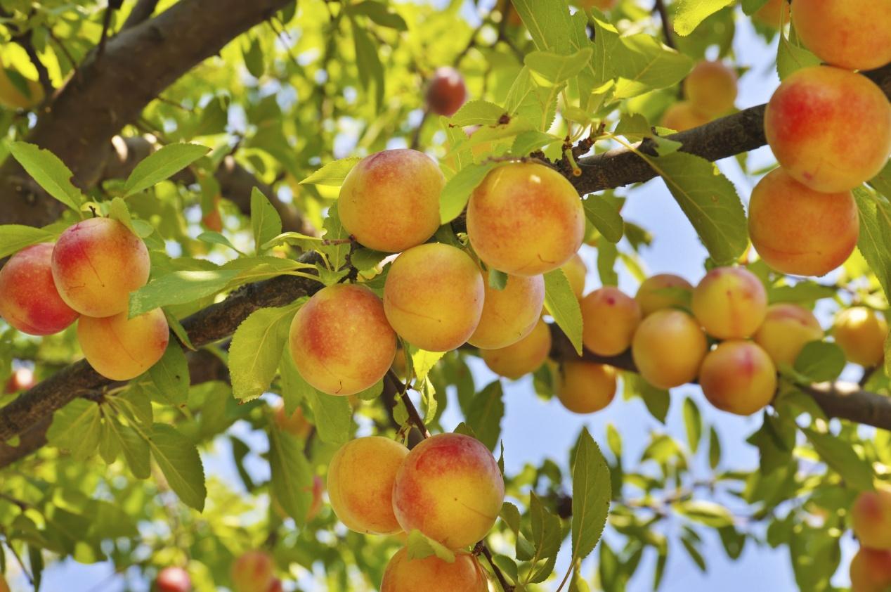 Arbre Fruitier D Intérieur la taille des arbres fruitiers : vidéo et conseils de