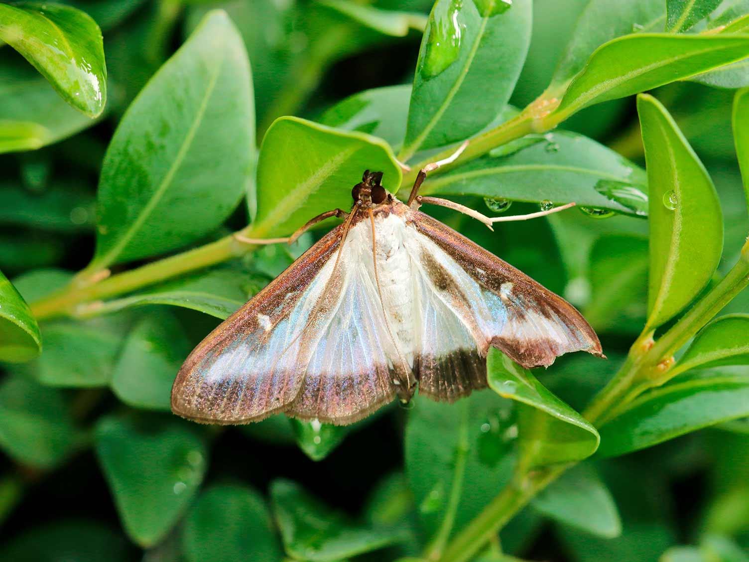 Box tree caterpillar - treatment and control | lovethegarden