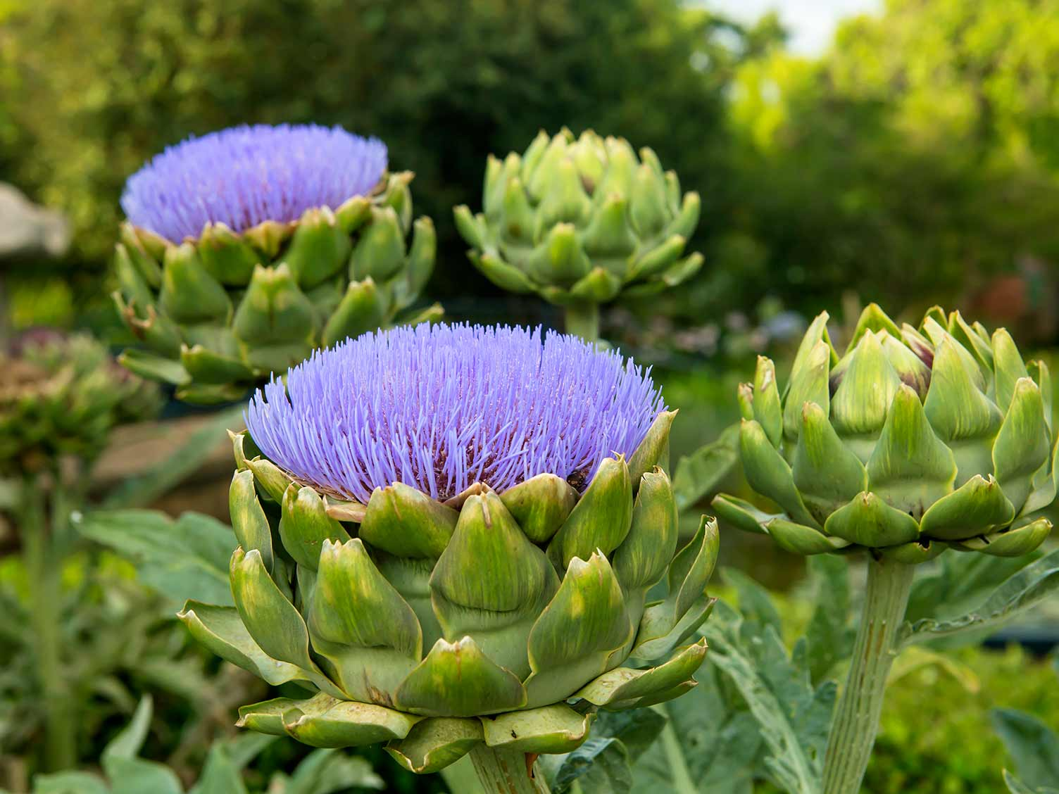 A guide on how to grow artichokes