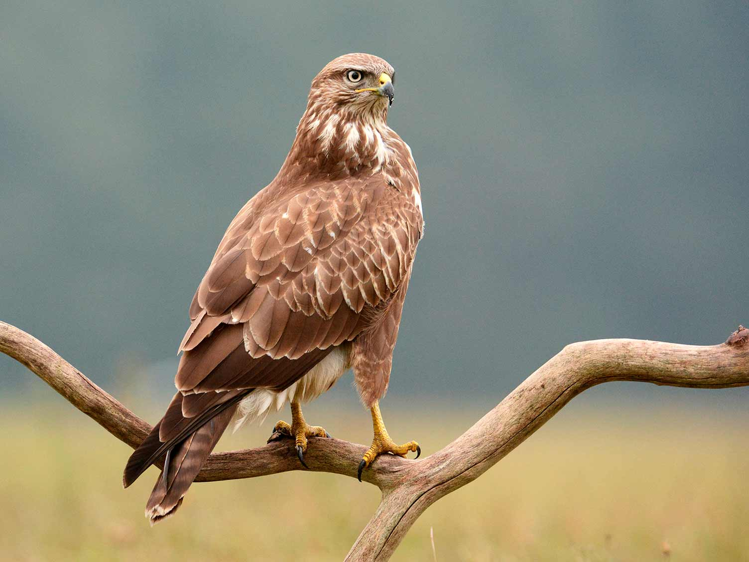 A Guide To British Birds Of Prey Lovethegarden