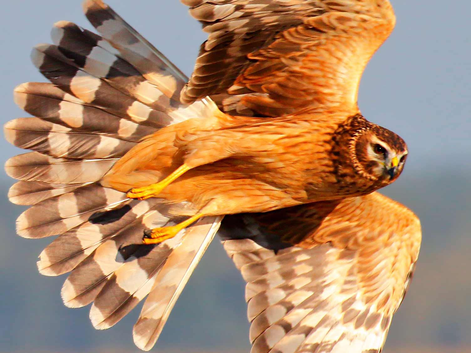 A Guide To British Birds Of Prey Lovethegarden