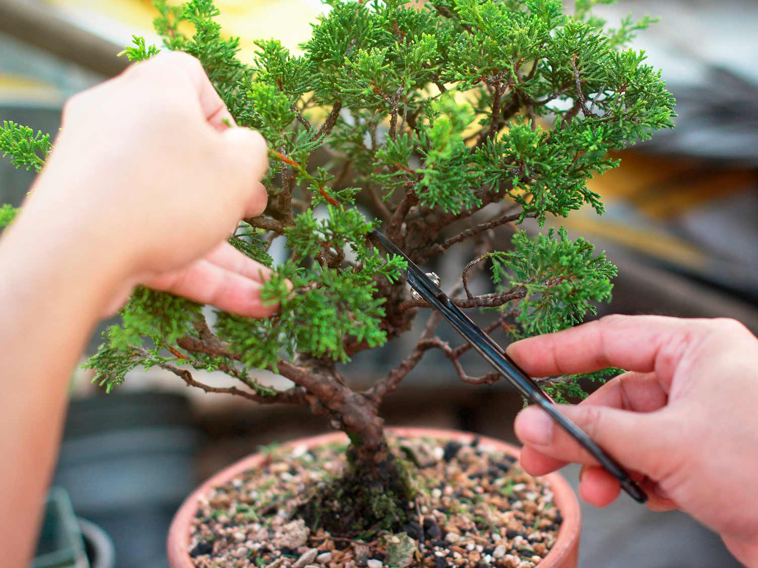 Pruning and training a bonsai tree