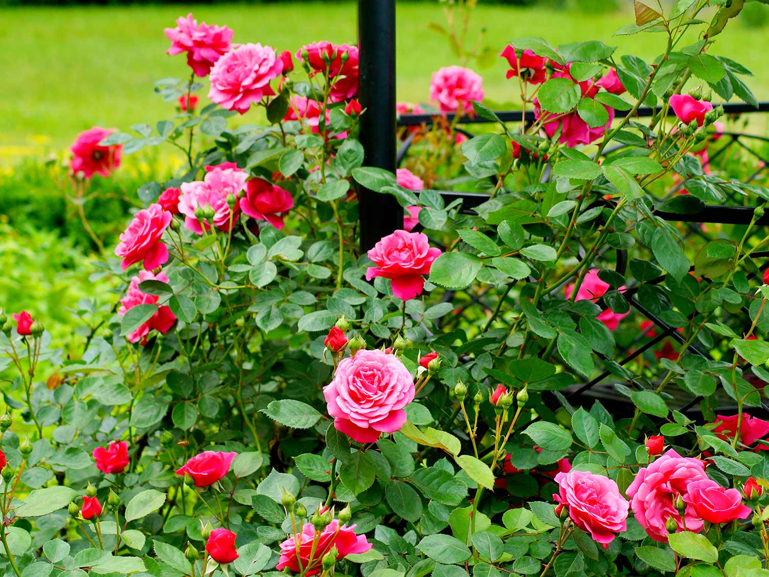 A Complete Guide To Growing Roses Lovethegarden