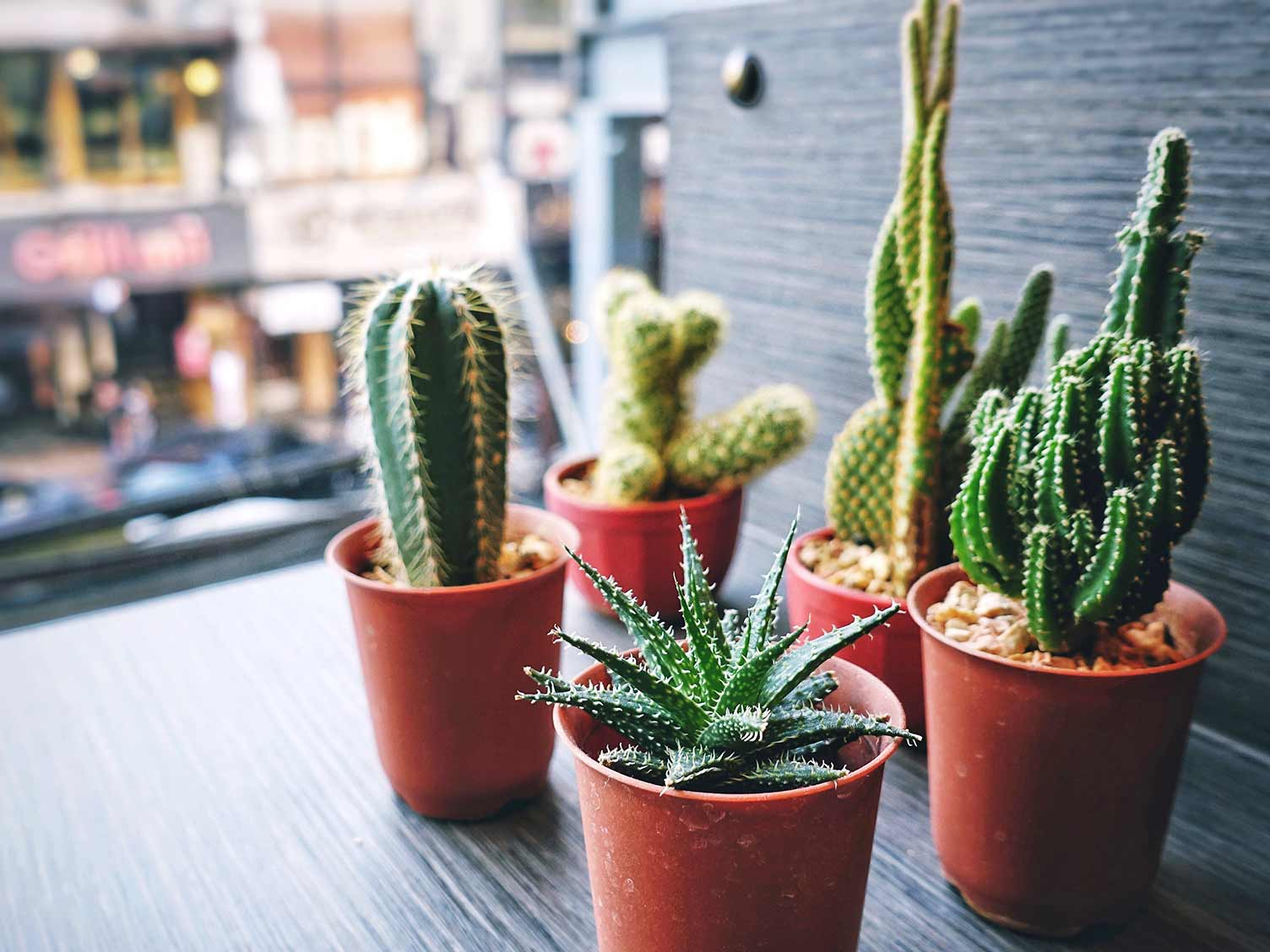 How To Look After A Cactus Plant Love The Garden