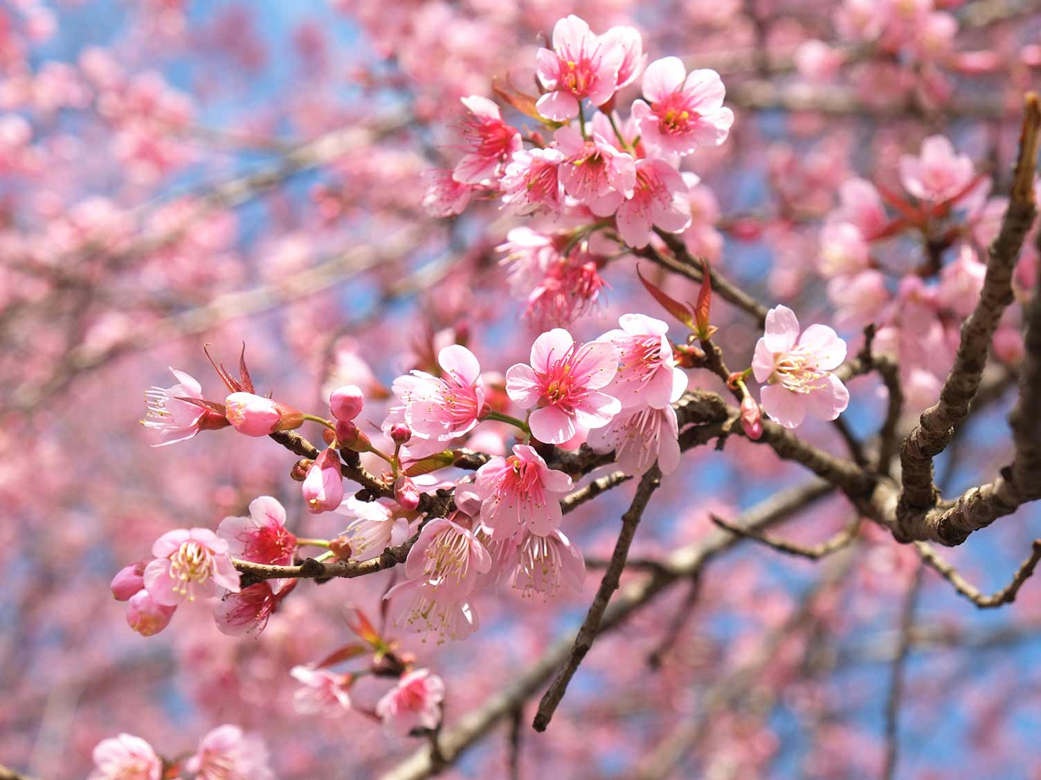 How To Grow A Flowering Cherry Tree