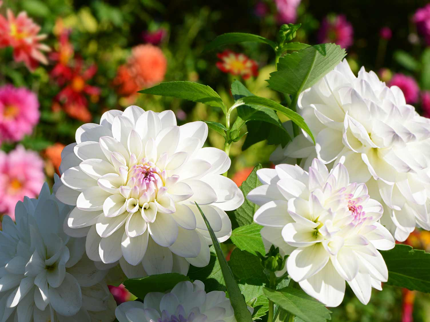 How To Grow And Care For Dahlias Lovethegarden