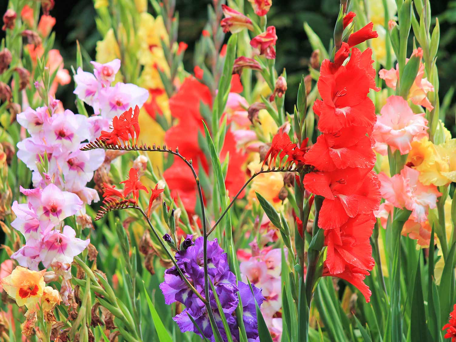 How To Grow And Care For Gladioli Lovethegarden