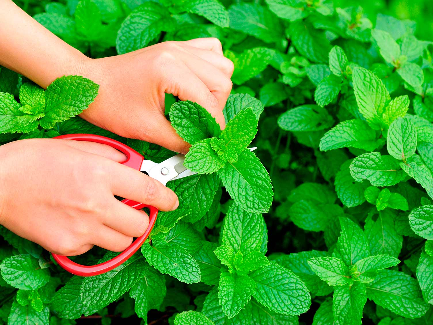 Harvesting fresh mint