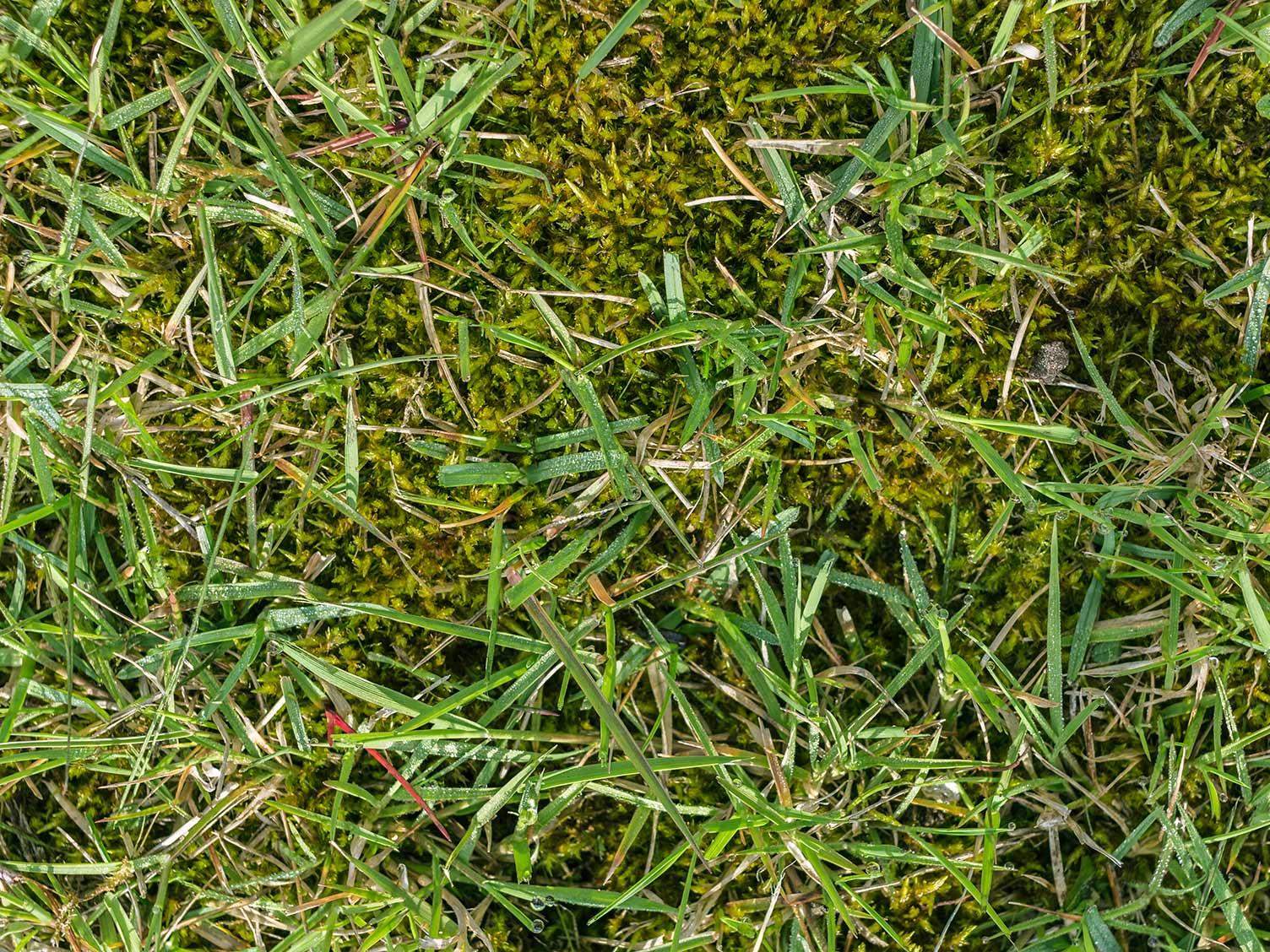 Moss in a lawn
