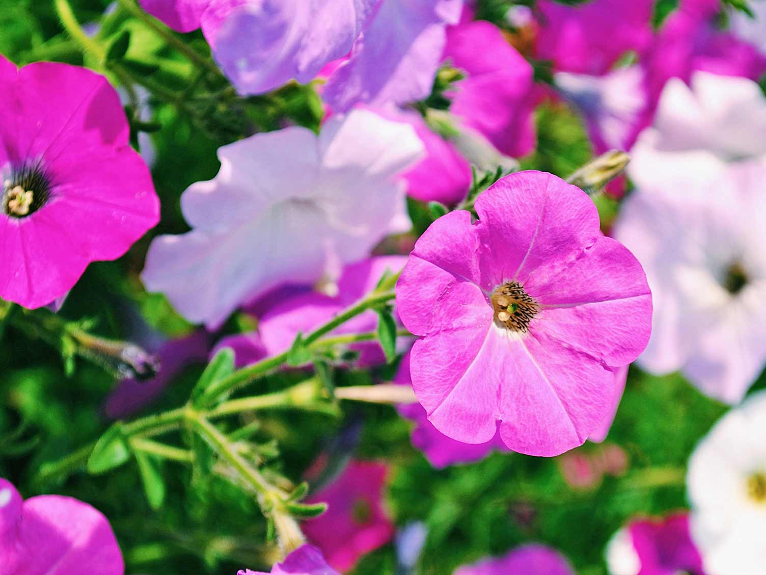 How To Grow And Care For Petunia Lovethegarden