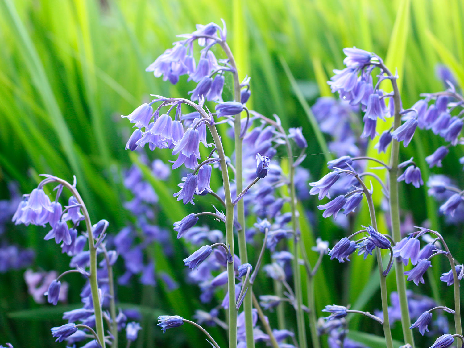 How To Grow And Care For Bluebells Lovethegarden