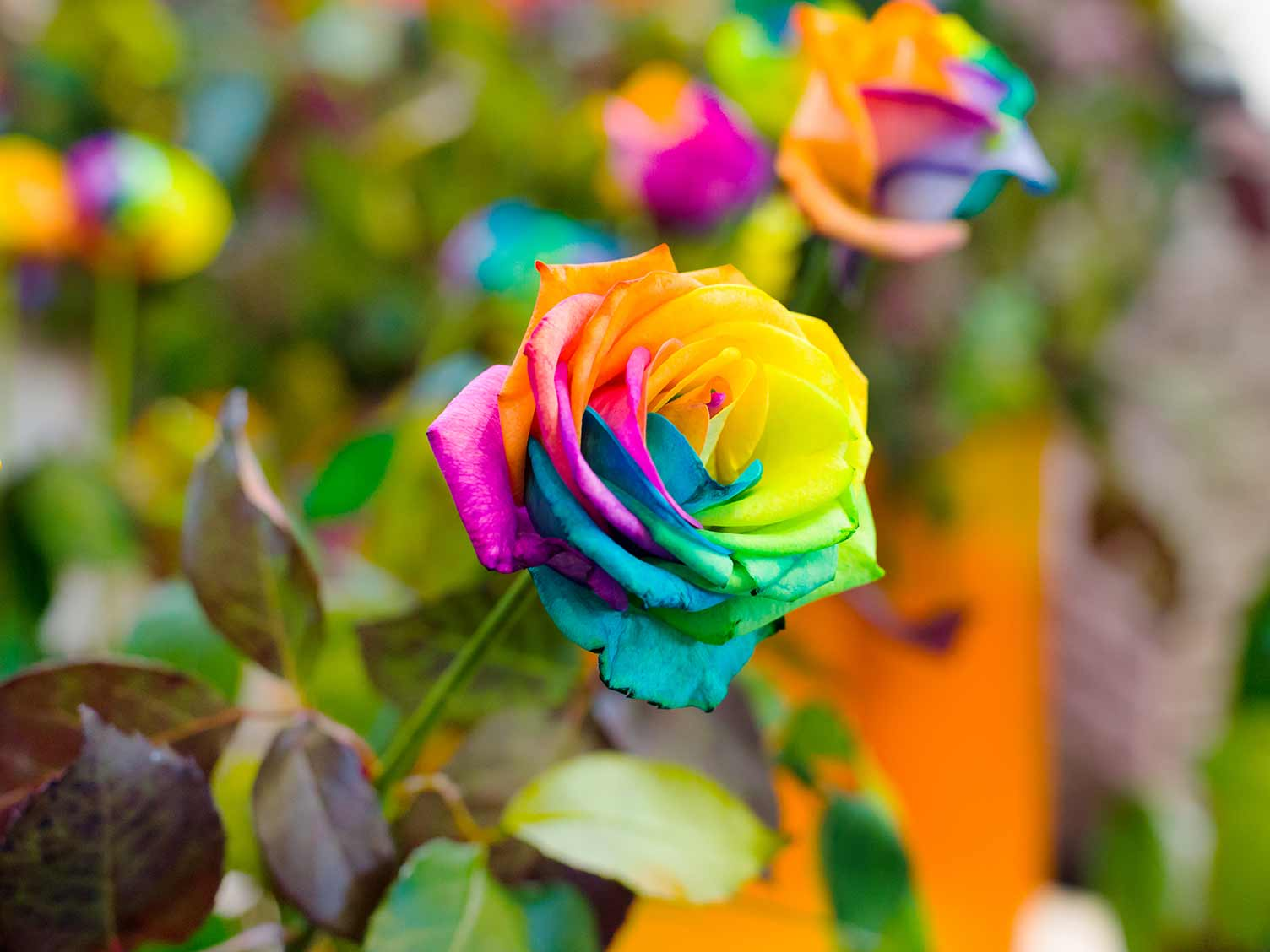 Rainbow Roses Are They Real Lovethegarden