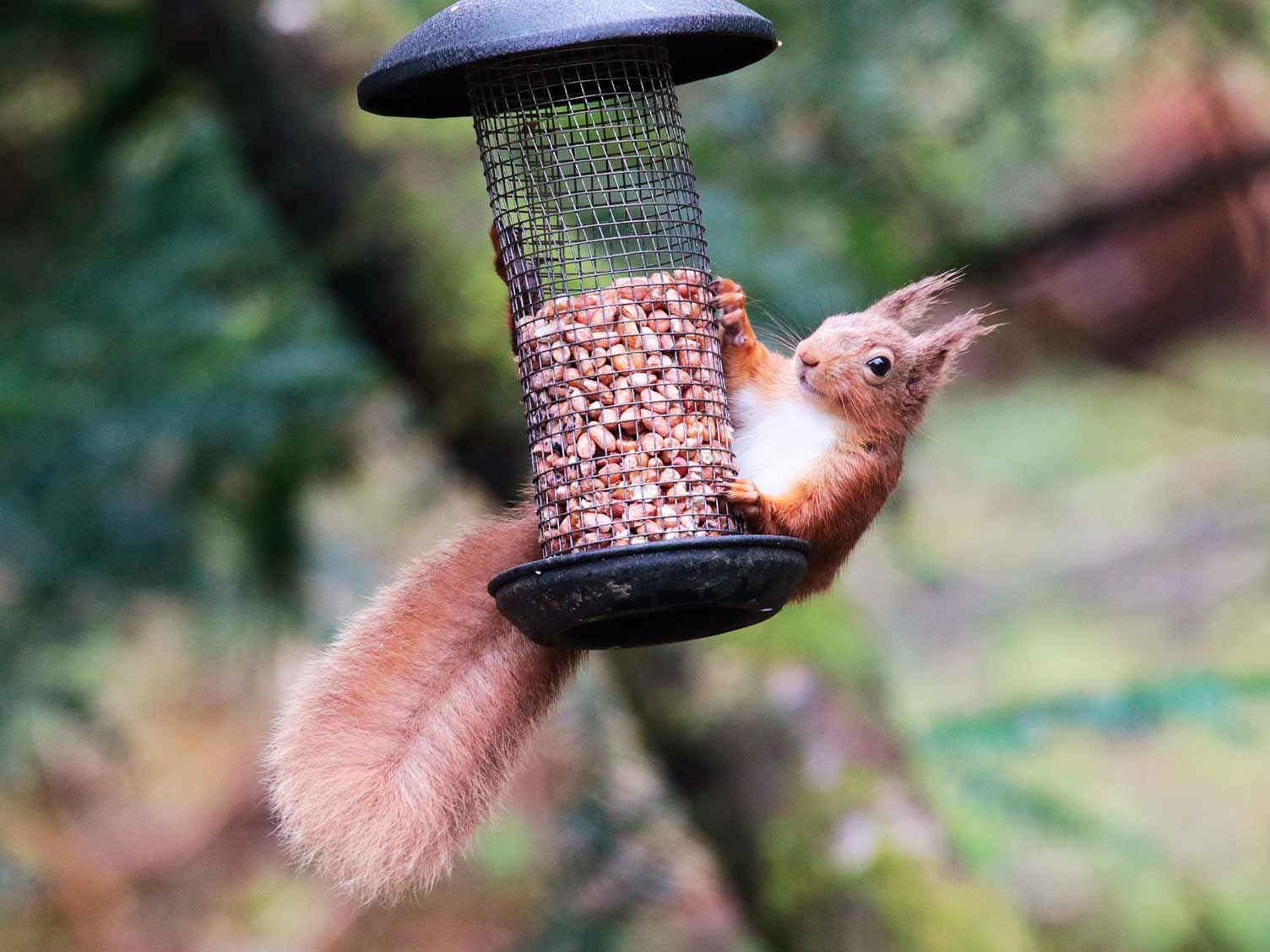 Red squirrel perched on a bird feeder