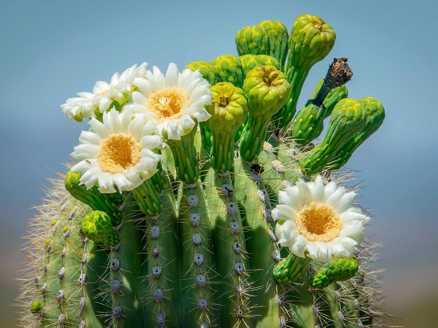 Saguaro National Park – Tjs Garden |Saguaro Cactus Flowers