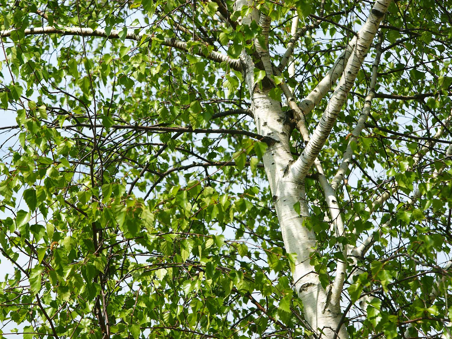How To Grow And Care For Silver Birch Lovethegarden