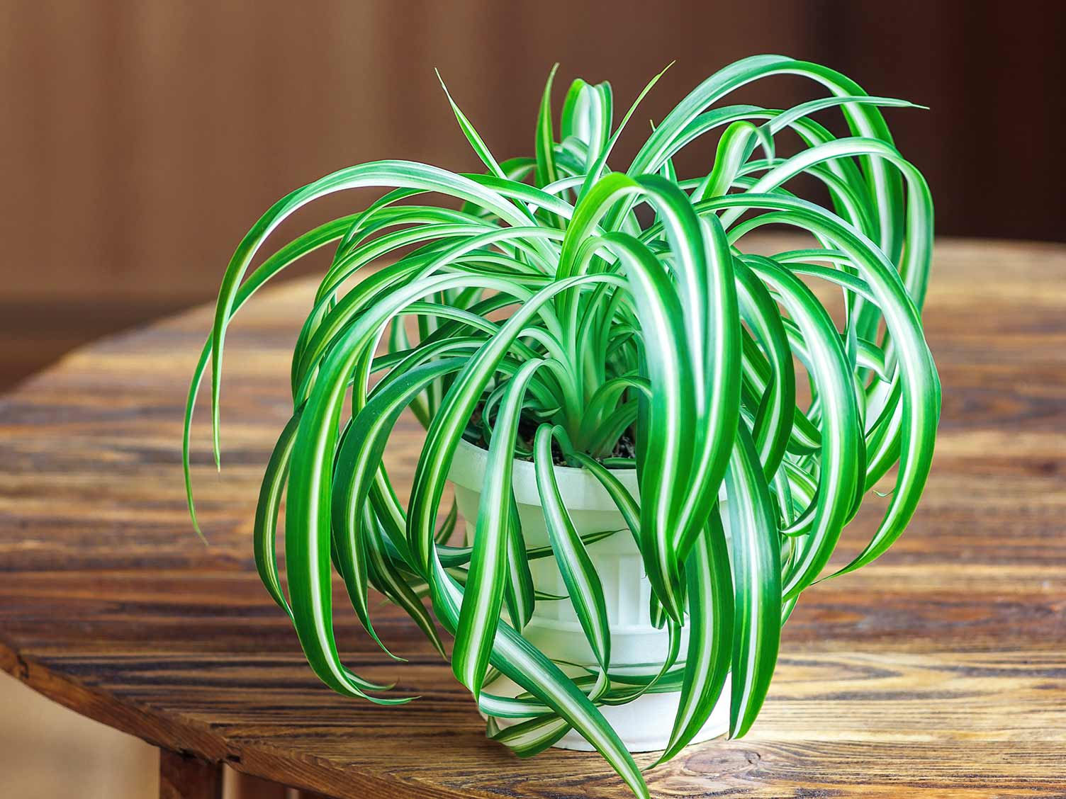 How To Grow And Care For Spider Plant Lovethegarden