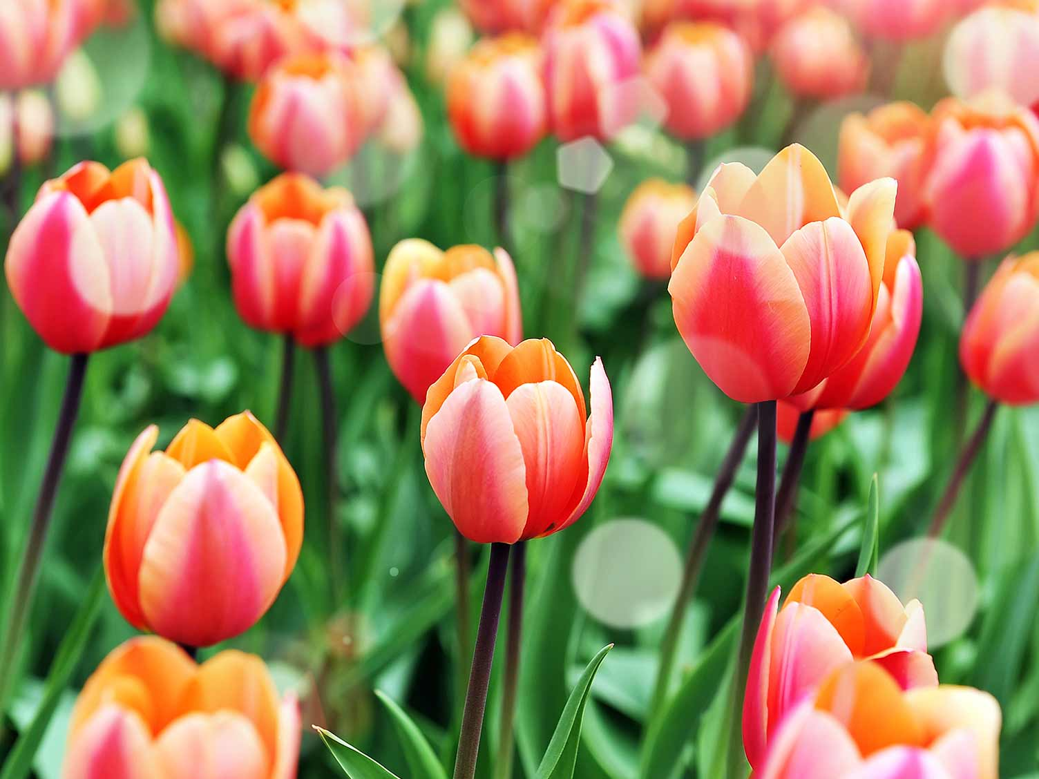 How To Grow And Care For Tulips Lovethegarden