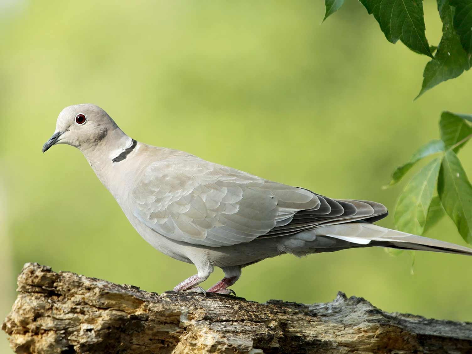 Common UK birds: Collared dove