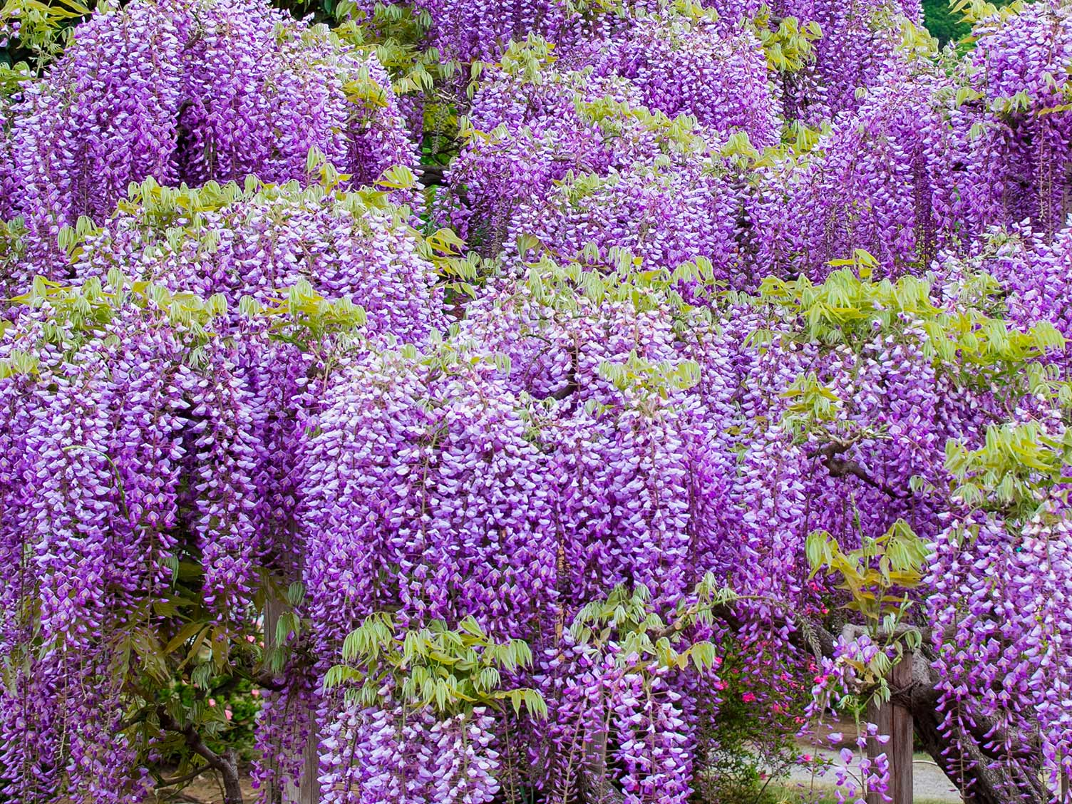 Wisteria flowers closeup