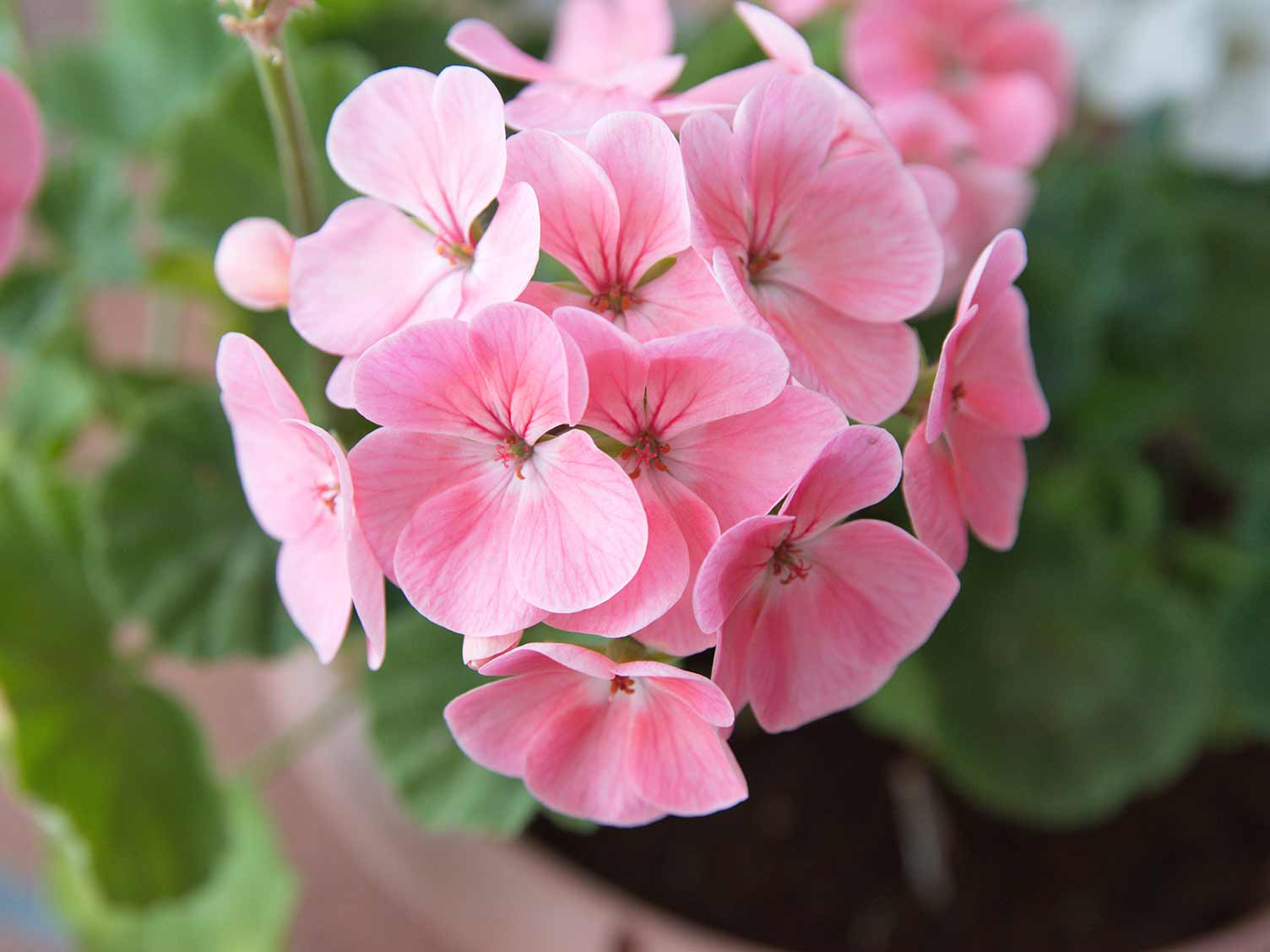How To Grow And Care For Geranium Lovethegarden