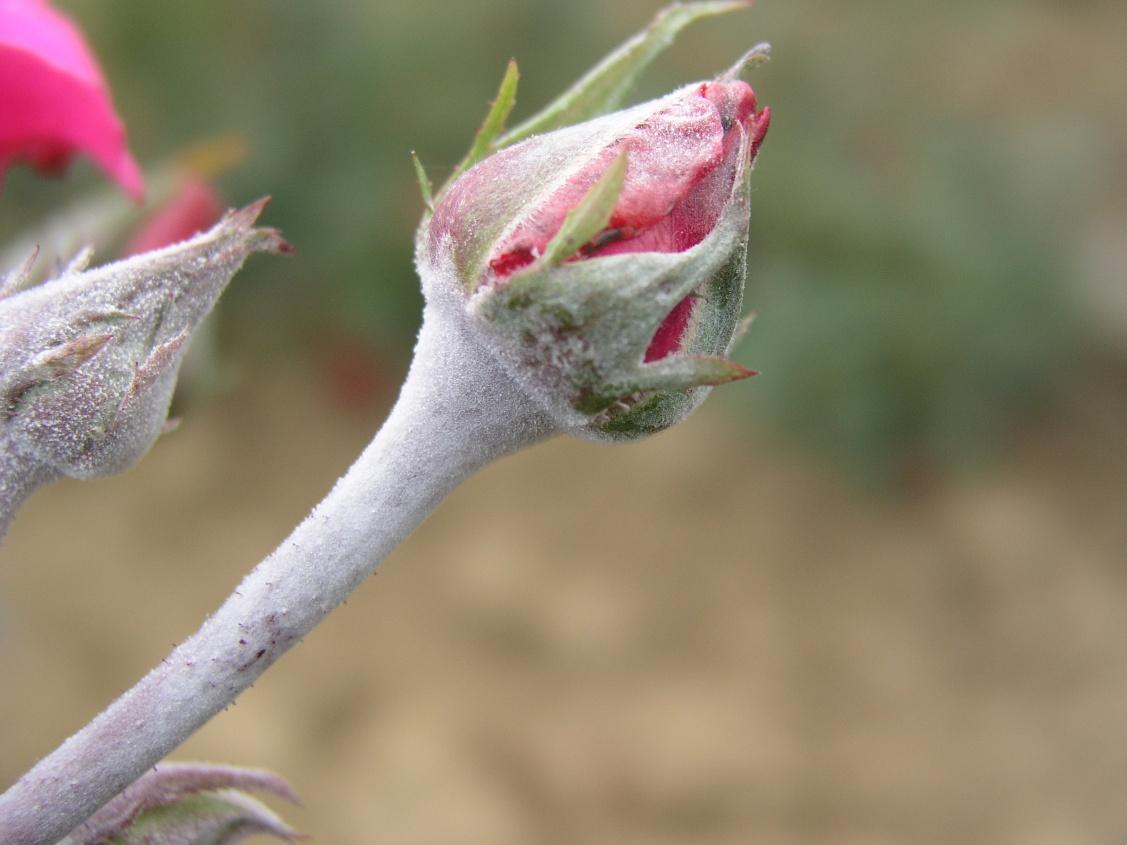 Bicarbonate De Soude Contre Les Pucerons oidium : la pause jardin, l'oïdium ou blanc du rosier