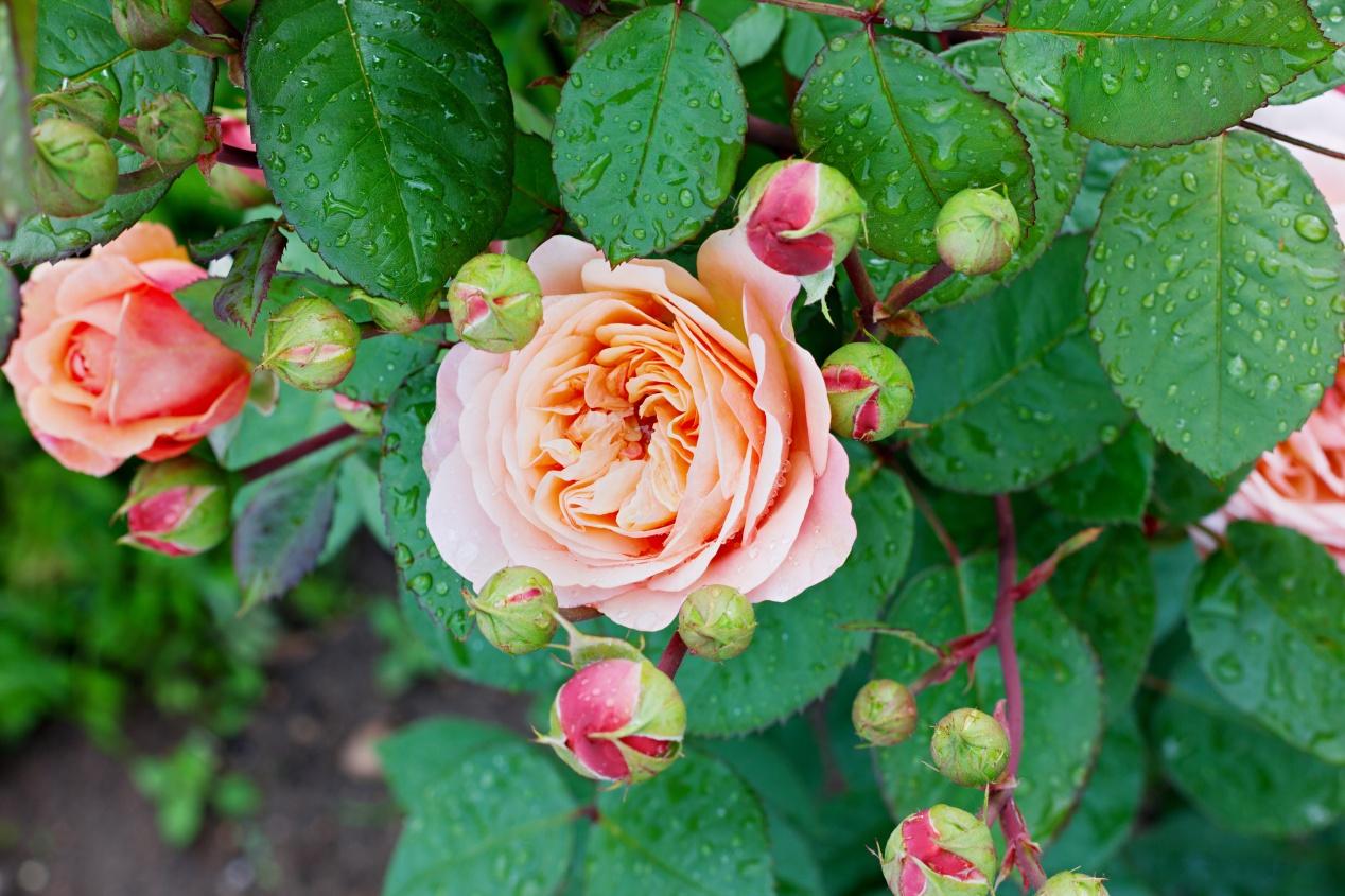 Oidium : La Pause Jardin, l'oïdium ou blanc du rosier