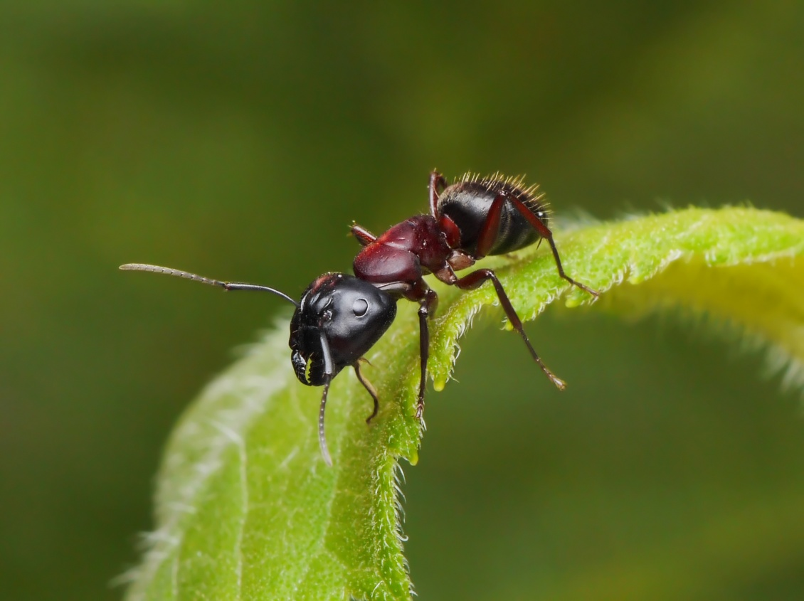 Astuces Naturelles Pour Se Débarrasser Des Fourmis anti fourmi bio : la pause jardin, recettes de grands-mères