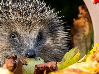 When do hedgehogs hibernate?