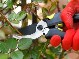 Pruning roses: when to make the cut