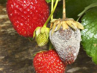 11 common fruit and vegetable diseases