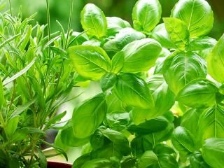 A guide to growing herbs for cooking
