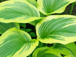 How to split perennials