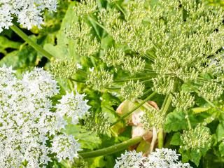 How to remove Giant Hogweed