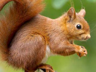 Red squirrels: everything you need to know