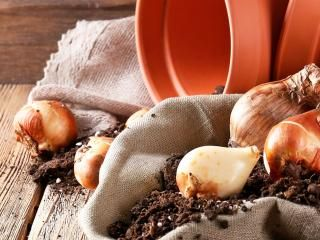 Planting spring bulbs in pots and containers