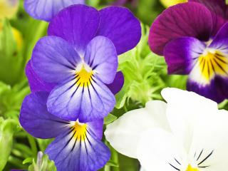 Pansy and Violets (Viola)