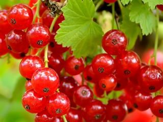 Currants - Black, Red, White (Ribes nigrum, Ribes rubrum)