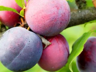 Plums, Damsons and Gages (Prunus domestica)