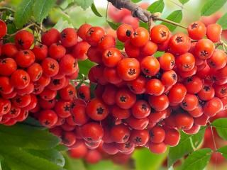 Mountain Ash, Rowan (Sorbus)