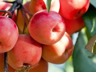 Crab Apples (Malus)