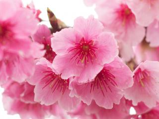 Flowering Cherries (Prunus)