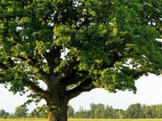Oak (Quercus robur and Quercus petraea)