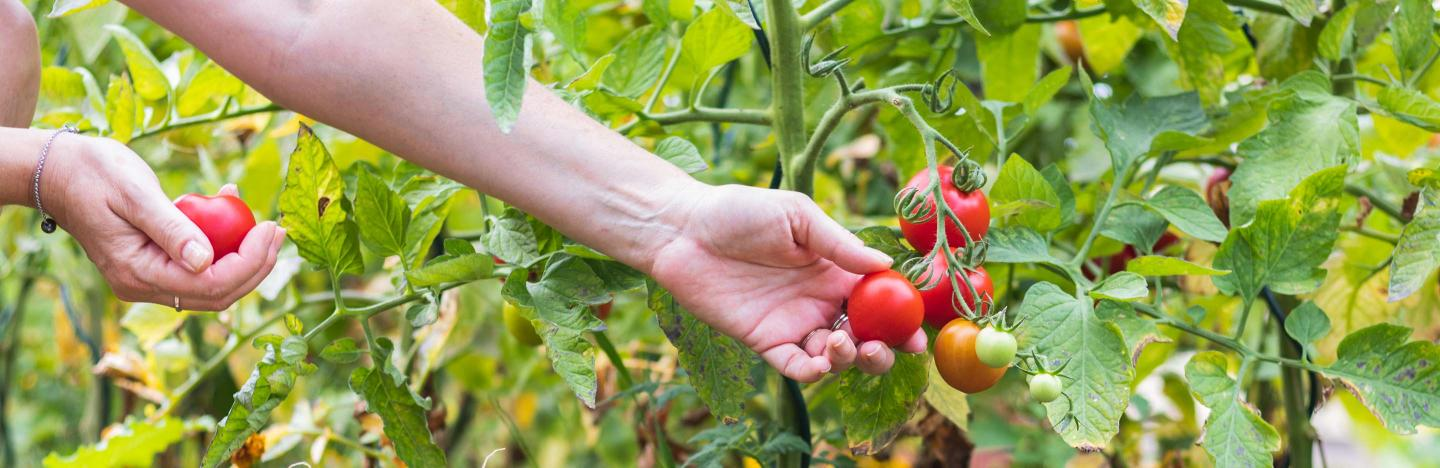 How to Grow & Care for Tomatoes | Scotts Australia | Love The Garden