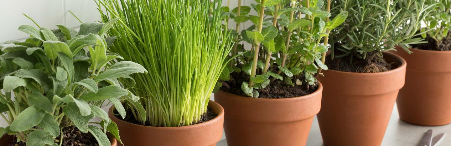 Guide to growing herbs - Scotts Australia
