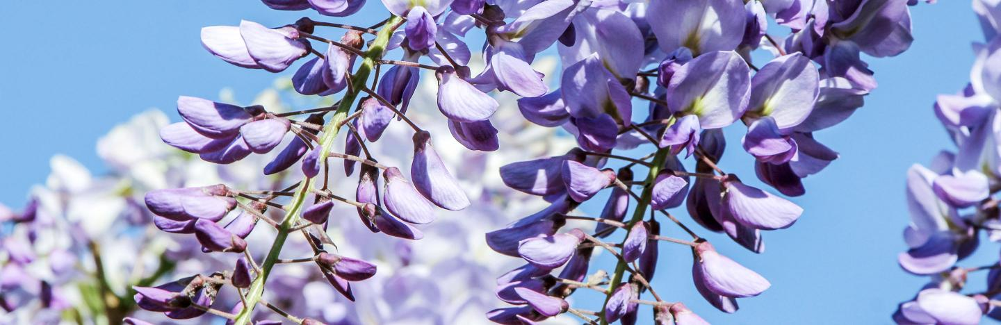 A Guide To Pruning Wisteria Love The Garden