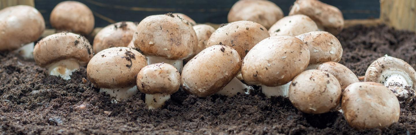Portobello concentrated natural seeds mushroom spores for 2 tons of substrate