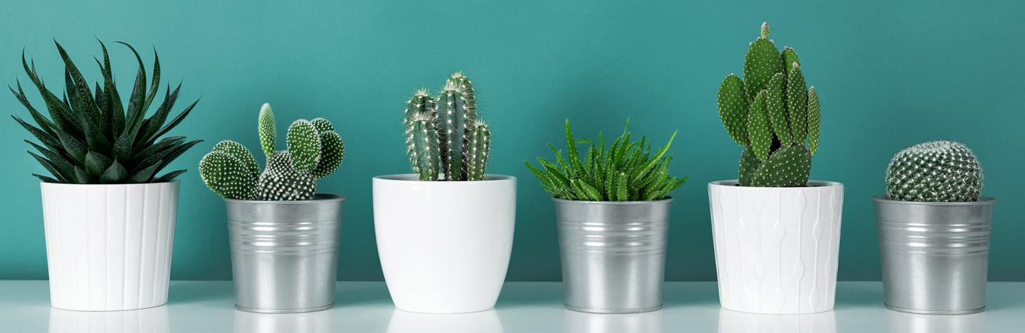 How to look after a cactus plant