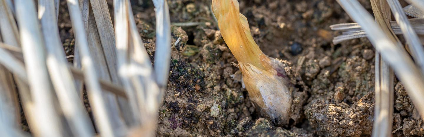 Onion white rot