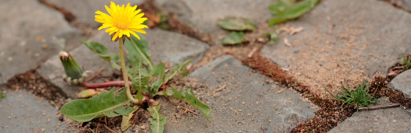 Weeds in paths and patios