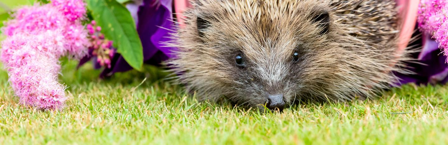 Hedgehog friendly gardens